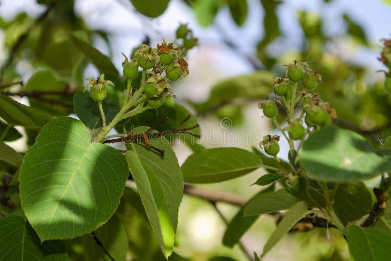 Shadberry verde em um ramo fotos de stock