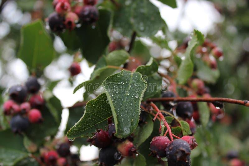 Shadberry z wody kropli berrys i liśćmi obrazy stock