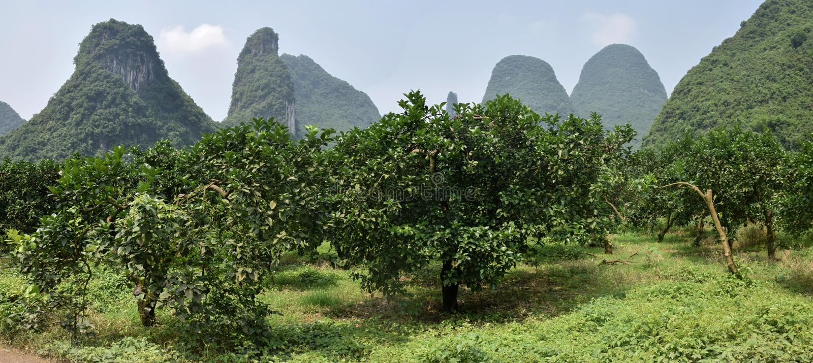 The area around small town Yangshuo in Guangxi Zhuang Autonomous Region in China. The Shaddock trees, Citrus maxima, grow plentifully in Yangshuo region in royalty free stock images