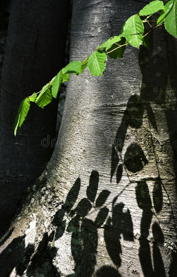 Shade of beech leaves on the trunk. Nature abstract background Shade of beech leaves on the trunk stock photography