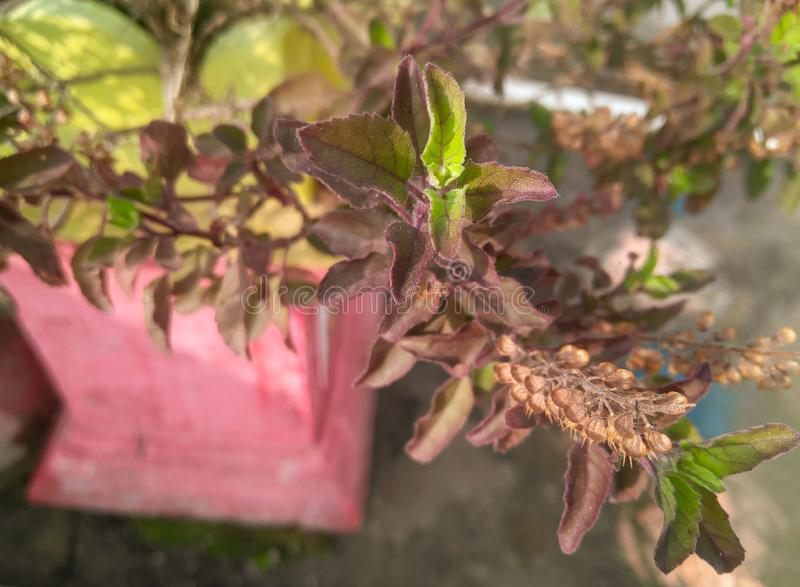 Shade of green leaves of Indian holy basil plant growing in the outdoors, nature photography royalty free stock photo
