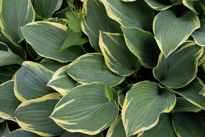 Shade-tolerant plant with decorative green-yellow leaves, can be used as a natural background. Green-yellow leaves of the khosta in the summer in the garden, a royalty free stock photo
