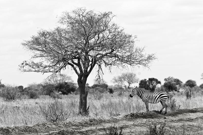 Shade,zebra during a safari in africa, kenya royalty free stock images