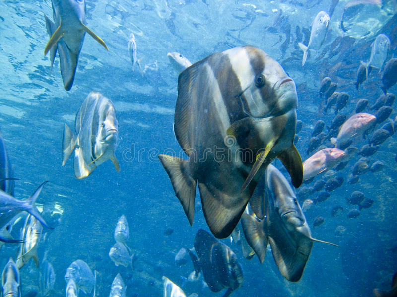 Shaded batfish. A close up on a school of batfish nearing, Durban, South Africa stock image