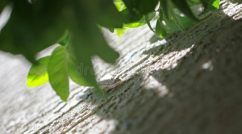 Shaded Lizard. A lizard in the sonoran desert resting on a stucco wall with shade from a citrus tree stock photo