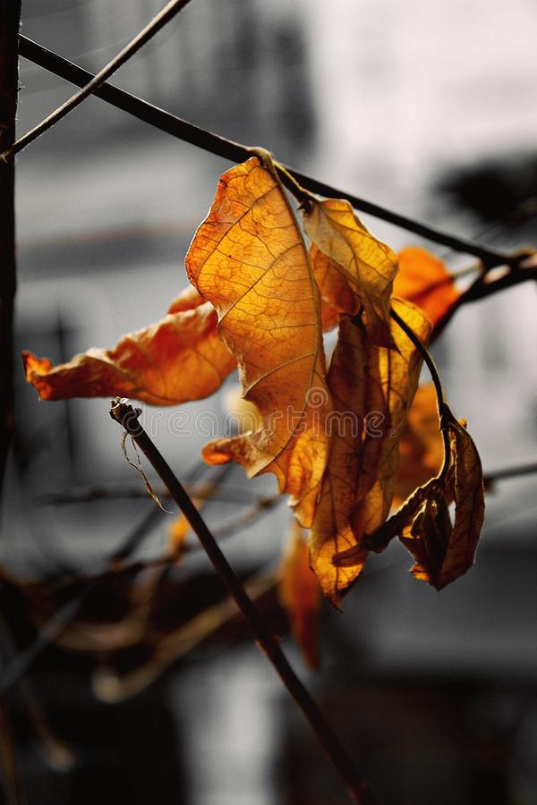 Shades of old life demise as new colours emerge. Emergebw, yellow, leaf, branch, stem, focus, maceo, macro, light, outdoor, nature royalty free stock photo