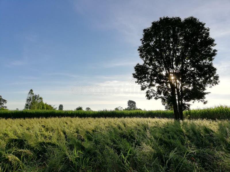 Shading del árbol en campo de hierba fotografía de archivo