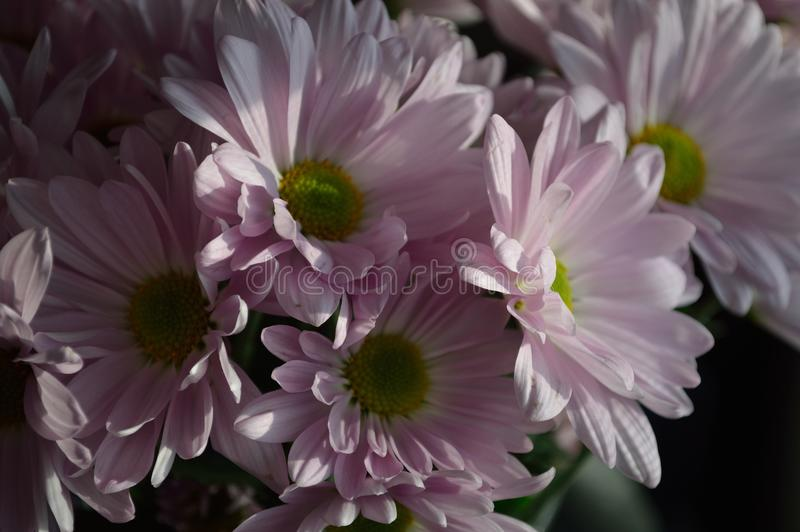 Download Shadow Bright Contrast Pink Daisies Stock Photo - Image of close, rounded: 81127888