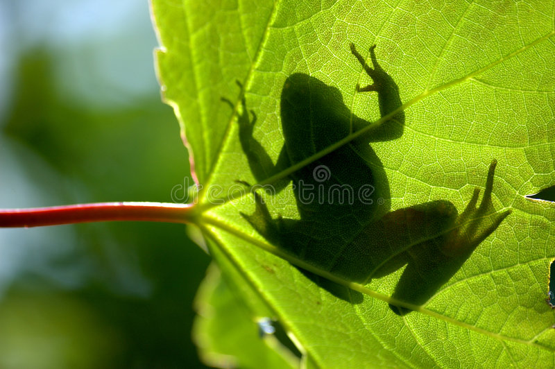 Download Shadow frog stock image. Image of reptile, shadow, common - 5205631