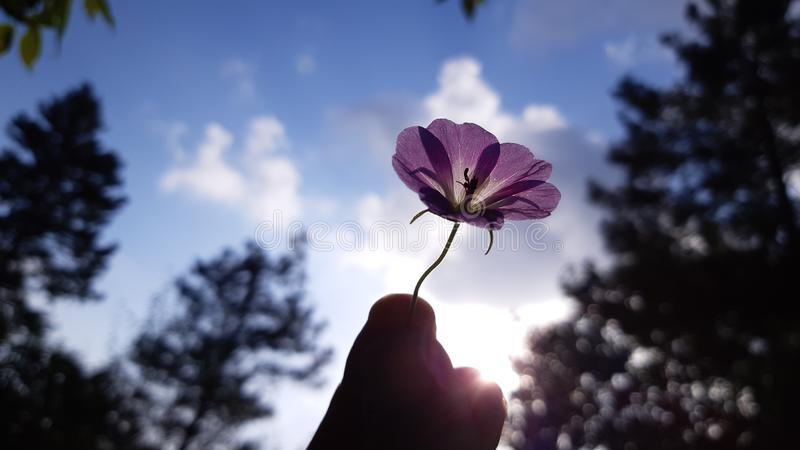A flower in human hand royalty free stock images