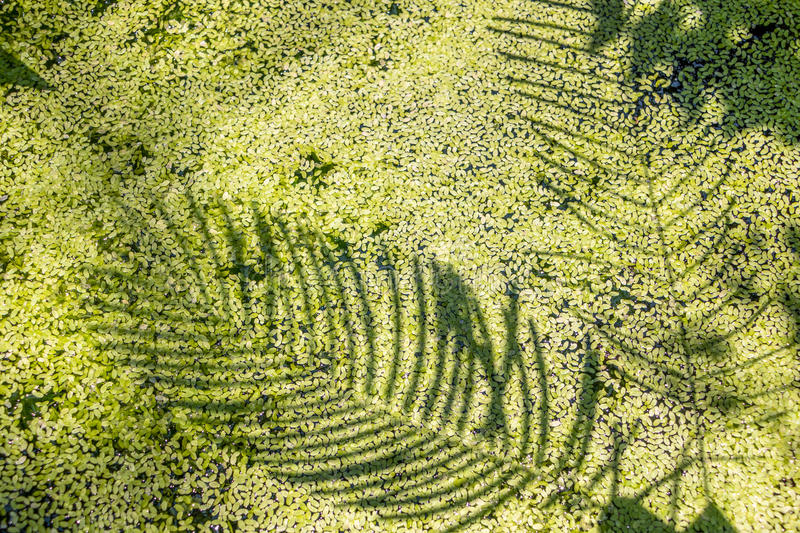 Shadow of the leaves. On green water royalty free stock images