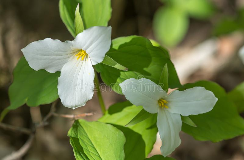 Shadow and Light Contrast for These Two Trillium Waiting the End of Spring royalty free stock photo