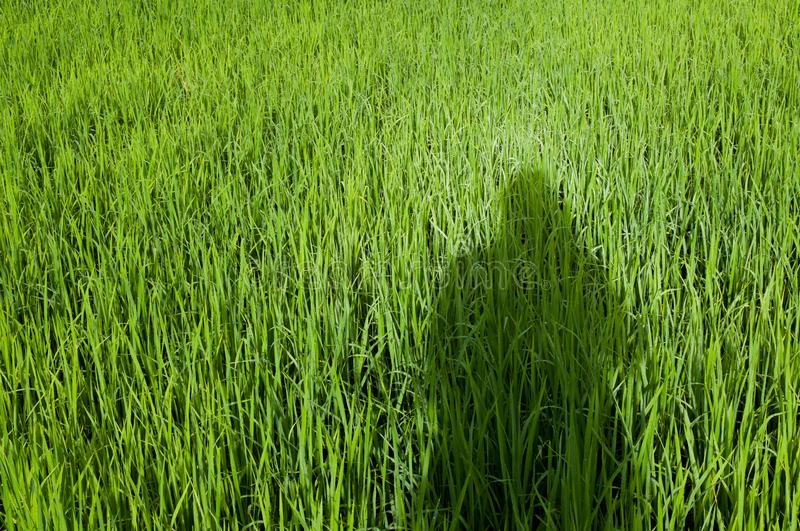 Shadow of men on rice field. Shadow of men stand on rice field stock images