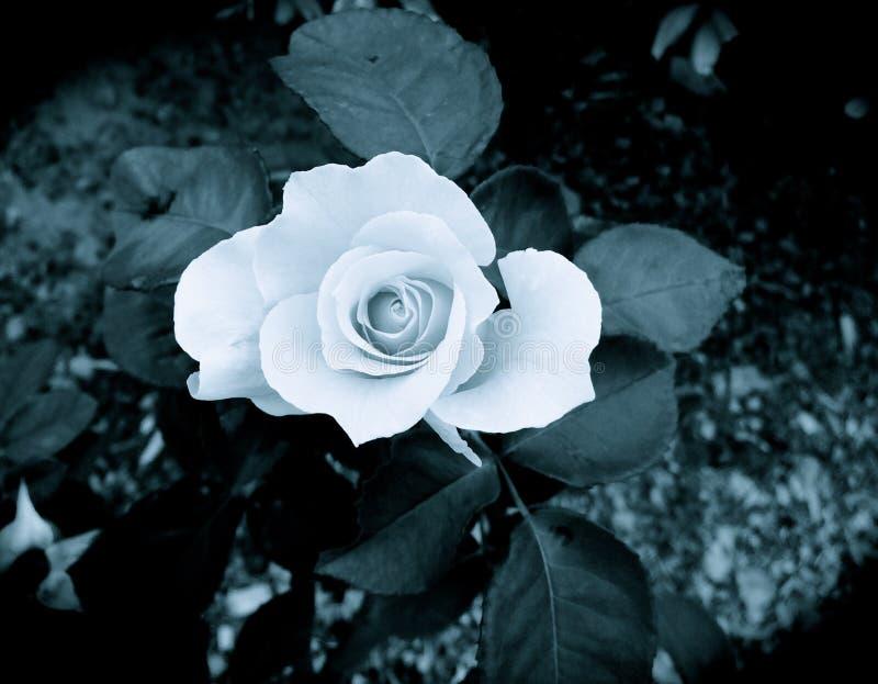 Shadow Rose stock image