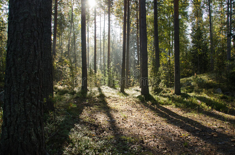 Shadows in forest royalty free stock images