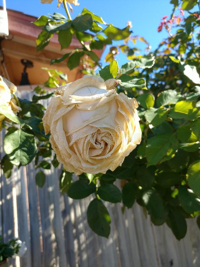 Shadows of a rose royalty free stock photos