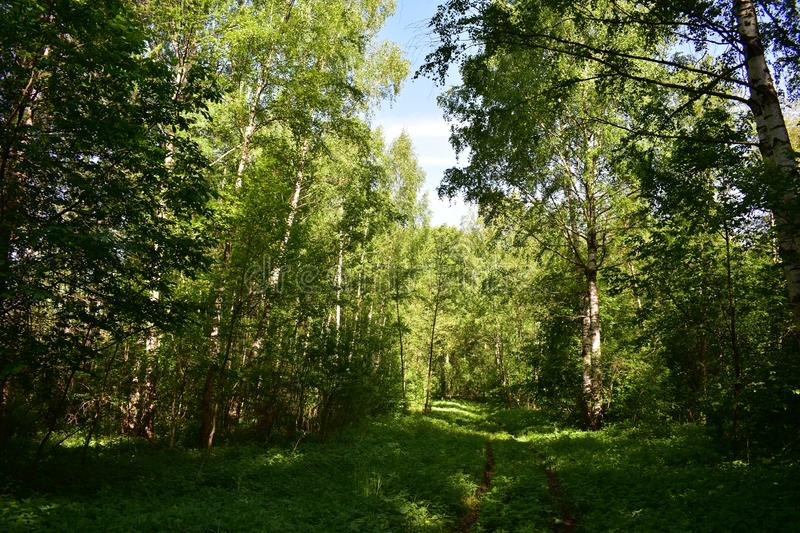 In the shady and cool forest it is good to walk along the branched dungeons. A path in a shady forest. Around the forest is green royalty free stock photos