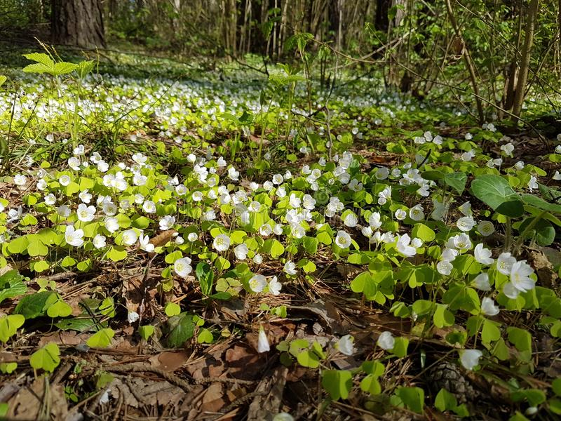 Beautiful carpet of small white flowers in pine forest at spring time. Shady path forest near kaluga city white trees spruces grass bright blue sky sunny day stock photos