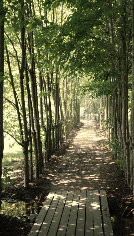 Free Shady Path Lined With Young Trees Royalty Free Stock Image - 13264366
