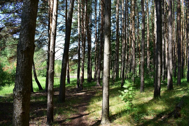Shady path to the coastal forests. Traveling along the ecological path, you get acquainted with the areas of pine forest of different types and ages stock photos