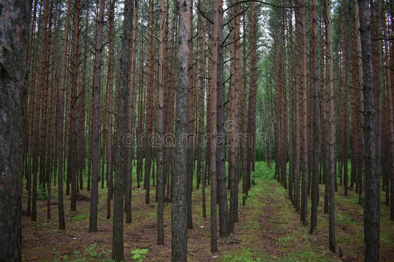 In a shady pine forest, the trees grow close to each other, so their trunks are highly elongated, the crown is very narrow. And live branches begin highly from stock photo