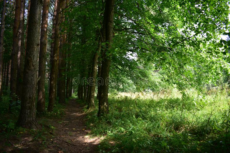 Shady small-leaved forest sunlight fascinates with its lush greenery trees are dressed in bright green decoration, soft grass. Spreads on the ground in the stock images
