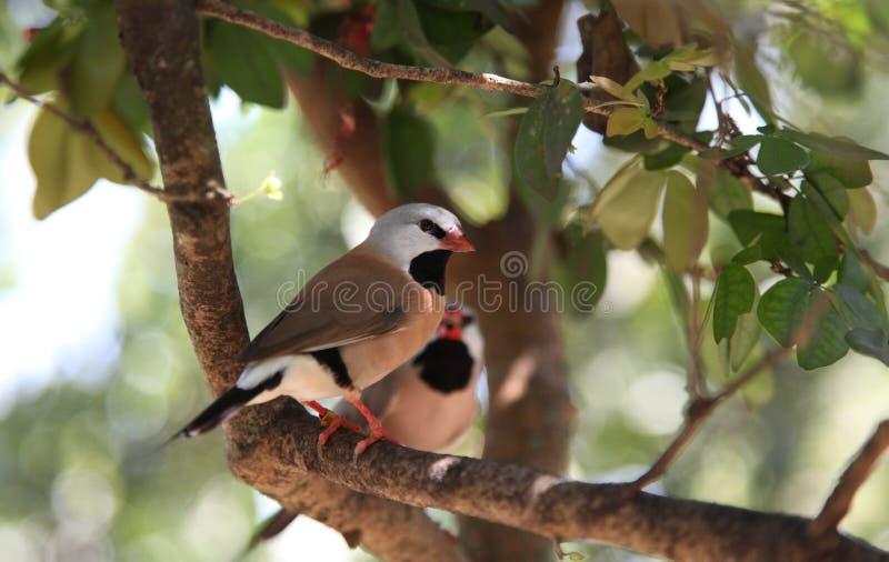 Shaftail Finch zdjęcie stock