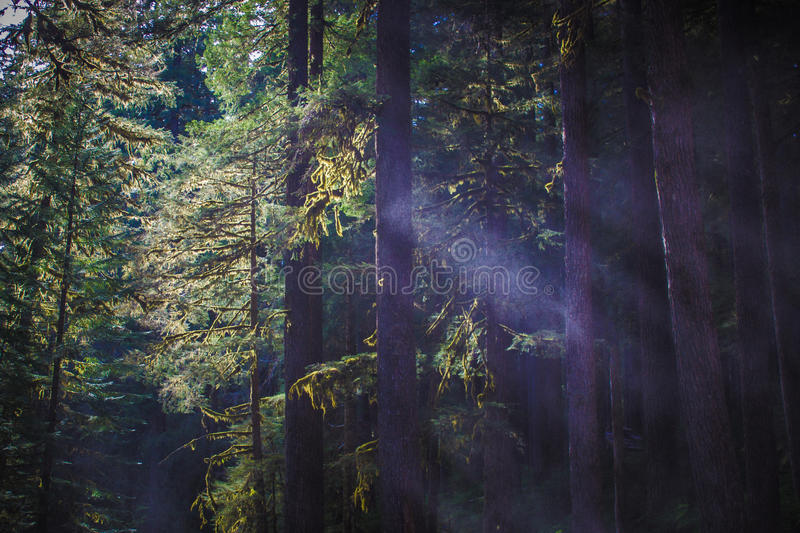 Shafts of light between trees in the Sol Duc Rainforest royalty free stock image