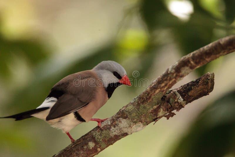 Shafttail Finch Poephila acuticauda royaltyfria foton
