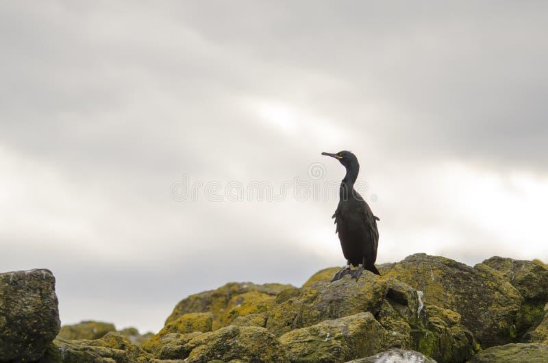 Shag, морская птица на утесе стоковое фото rf