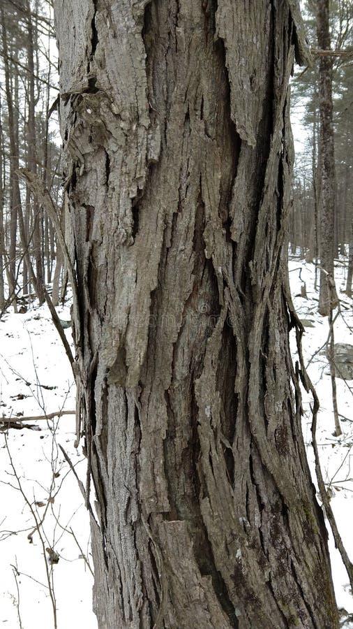 shagbark hikorowy drzewo zdjęcia royalty free