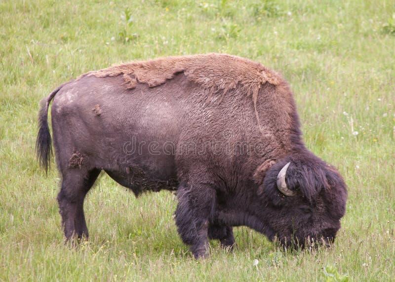 Shaggy бизон пася в зеленом луге стоковое фото rf