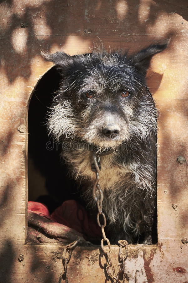 Shaggy старая собака прикованная в тинной клетке смотря унылый стоковые изображения rf