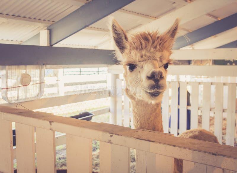 Shaggy Alpaca maakt grappige uitdrukkingen bij de markt van de provincie stock afbeeldingen