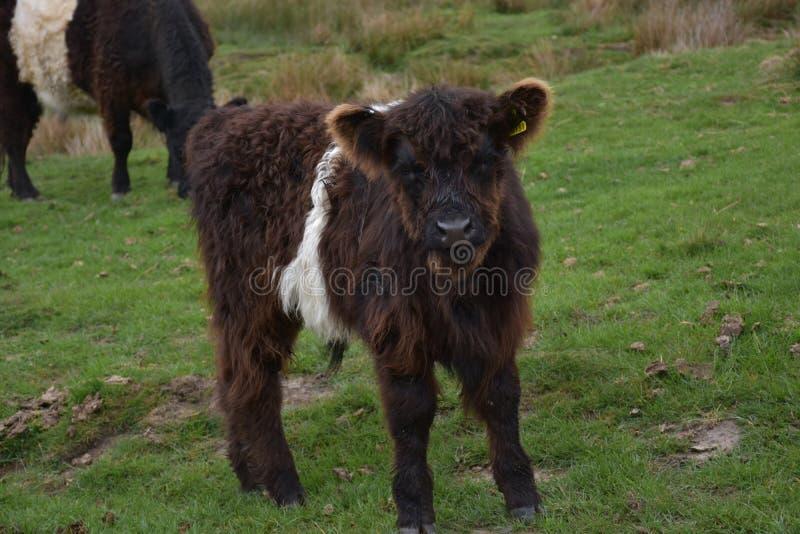 Shaggy Baby Belted Galloway Calf op Heide royalty-vrije stock foto