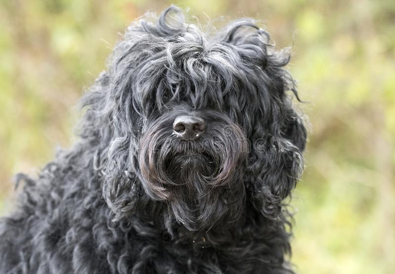 Shaggy black long haired Cockapoo dog adoption photo. Shaggy black long-haired Cockapoo Dog. Cocker Spaniel and Poodle mix breed. Dog rescue pet adoption stock photos