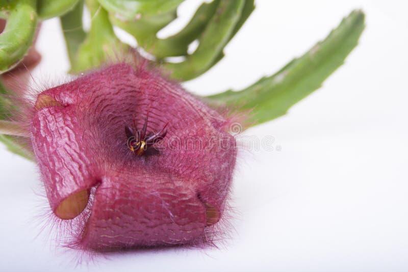 Download Shaggy Blume stockfoto. Bild von banane, grün, nave, überfluß - 27733652