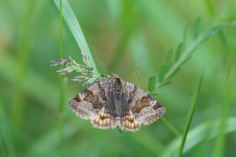 Shaggy brown butterfly on a green grass stock photos