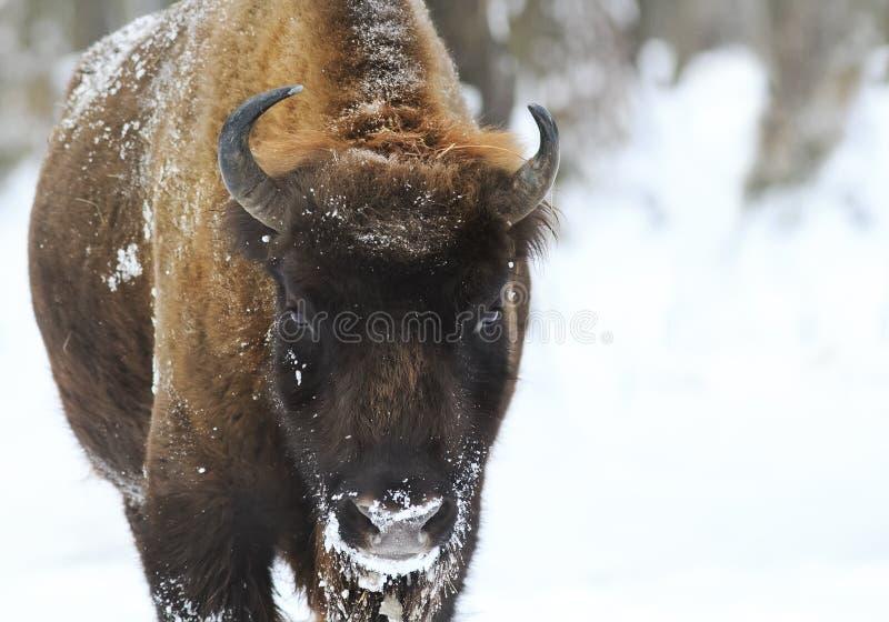Shaggy Buffalo die zijn grappig gezicht trekken stock foto's