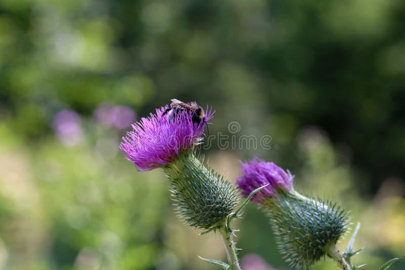 Shaggy Bumblebee drinkt nectar van een bloem stock afbeeldingen