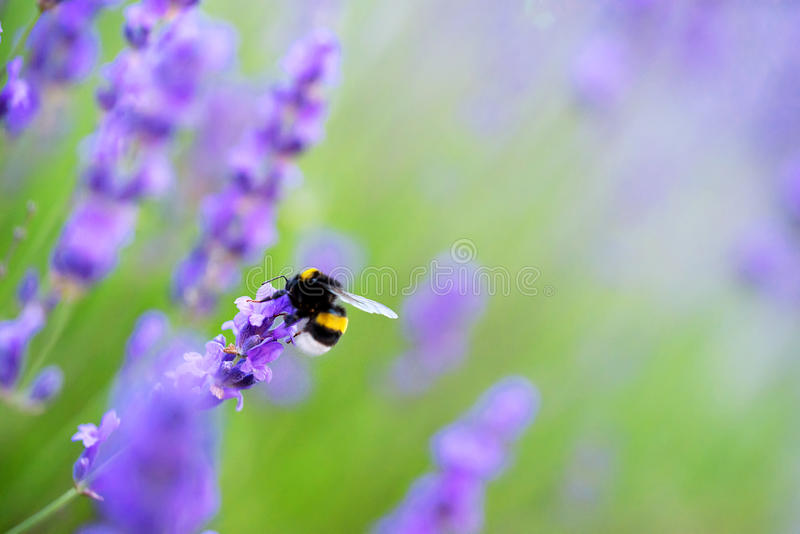 Shaggy bumblebee gathers nectar from a lavender flower, stock photo