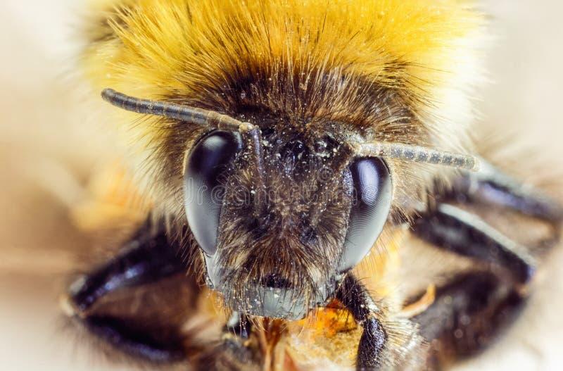 Shaggy bumblebee royalty free stock photo