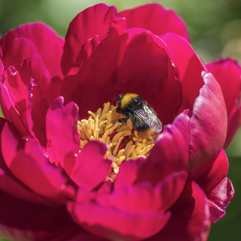 Shaggy Bumblebee op een roze pion stock foto's