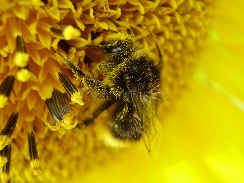 Shaggy bumblebee on a sunflower royalty free stock photos