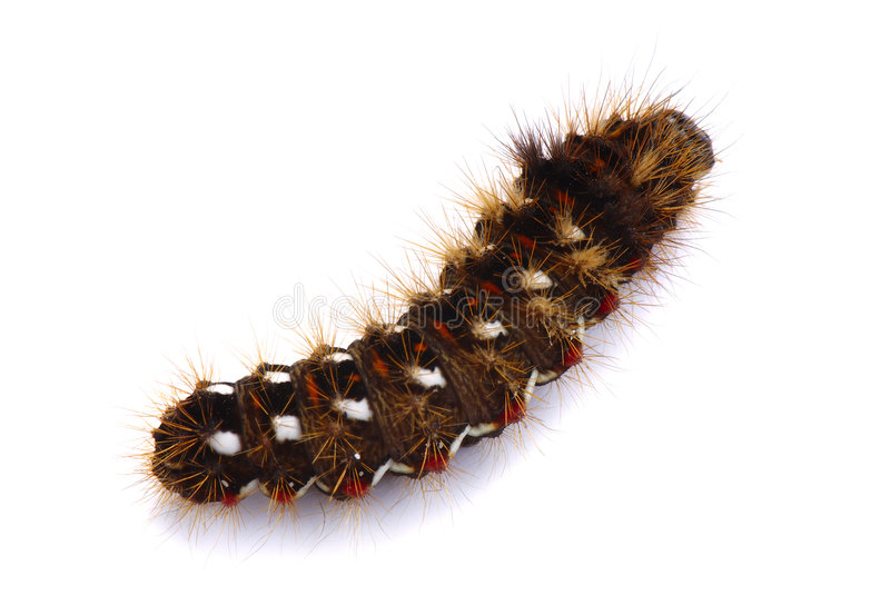 Download Shaggy caterpillar stock image. Image of striped, white - 6606147