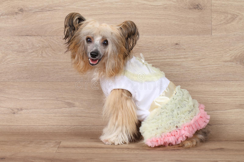 Shaggy Chinese crested dog. Happy Shaggy Chinese Crested dog in fashionable clothes on wooden background royalty free stock photo