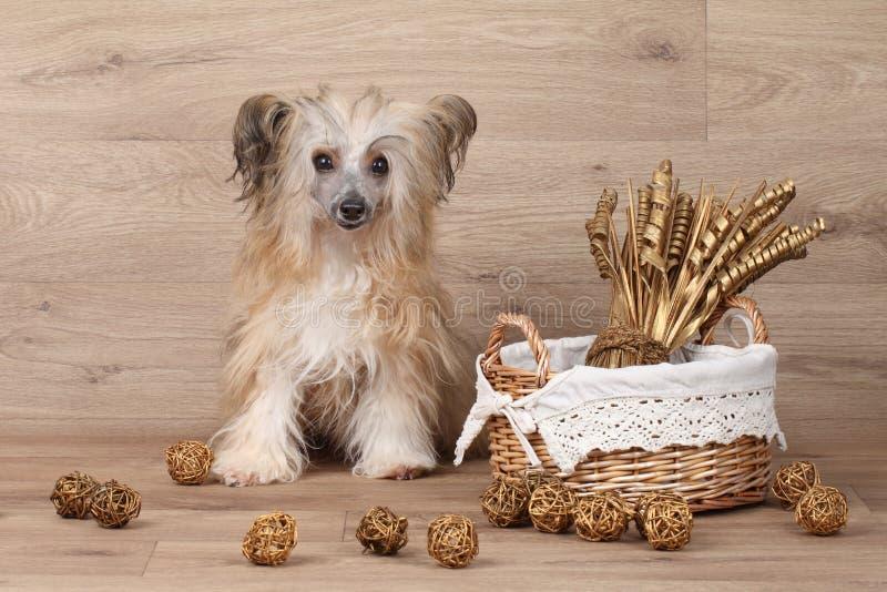 Shaggy Chinese Crested-Hund nahe Korb mit Trockenblumen stockbild