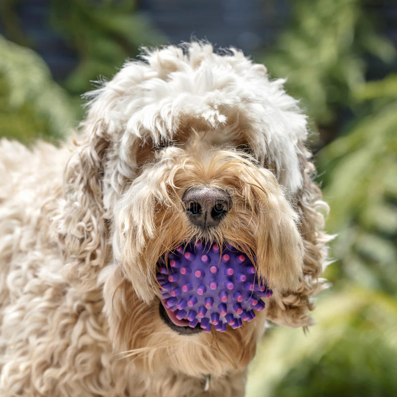Shaggy Cockapoo Dog with Ball Portrait with Blurred Background. Shaggy cockapoo or spoodle dog with ball. Mix of poodle and cocker. Portrait with blurred stock images