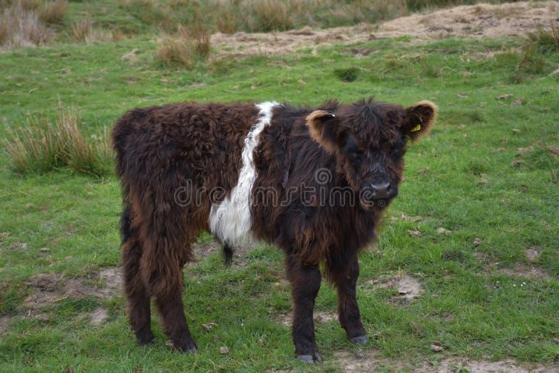 Shaggy Dark Brown en Wit Kalf in Noordelijk Engeland royalty-vrije stock foto