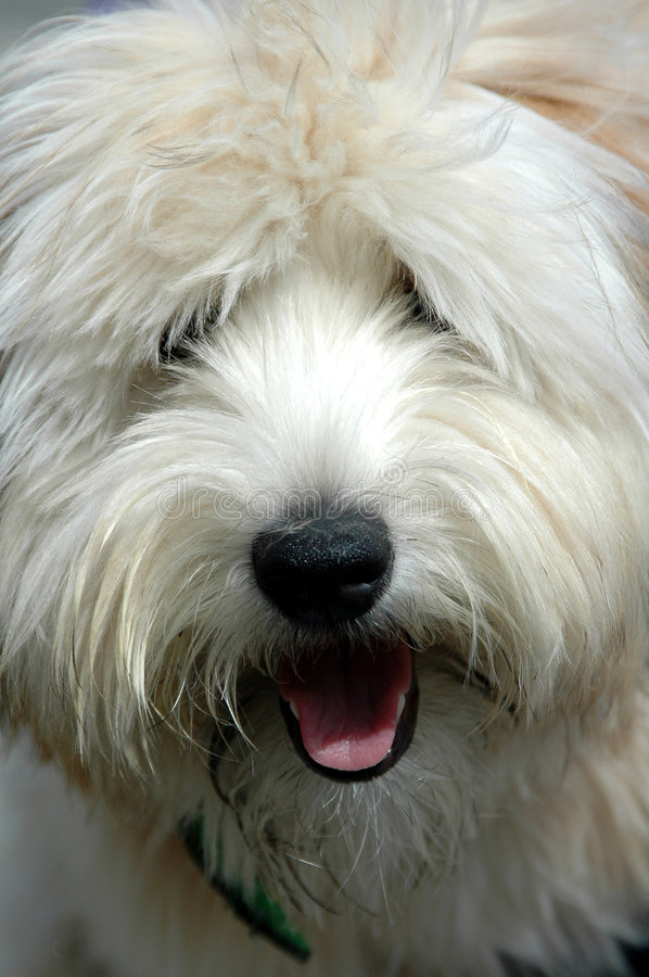 Shaggy Dog. Close up of a Shaggy Dog face royalty free stock images